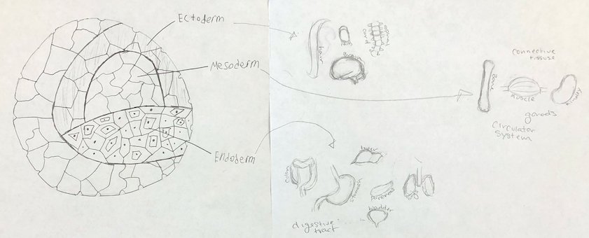This student group illustrated the germ layers of an embryo and their developmental trajectory into different parts of the body.