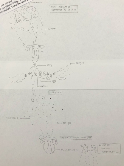 Image description: One student's stunningly detailed illustration of the ovulation cycle from maturation to menstruation.